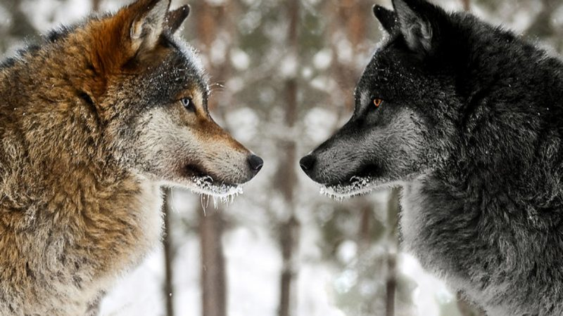 Legend of Two Wolves